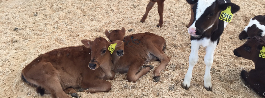 protect-calves-against-coccidiosis
